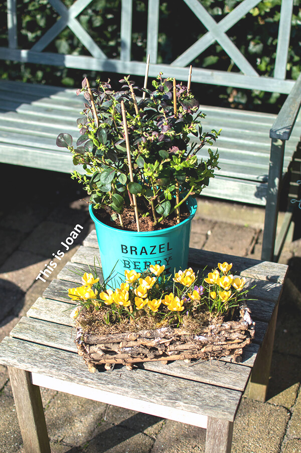 Brazelberry planten blauwe bes
