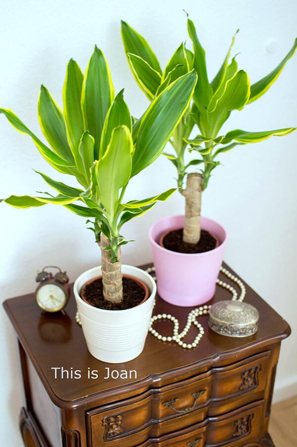 Green Bubble planten dracaena