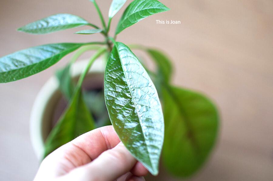 Avocadobladeren van avocadoplant