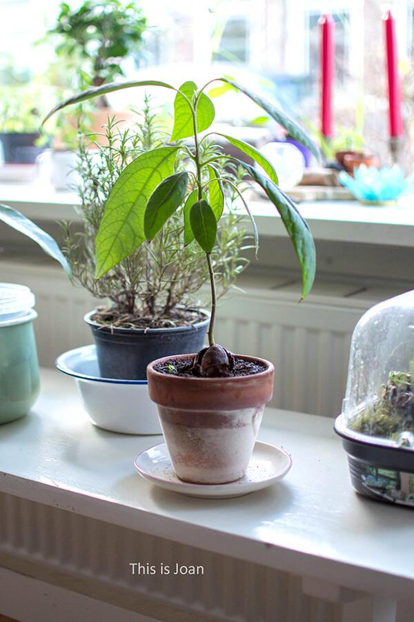 Avocadoplant verzorgen