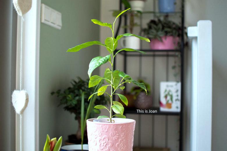 Citroenplant kweken