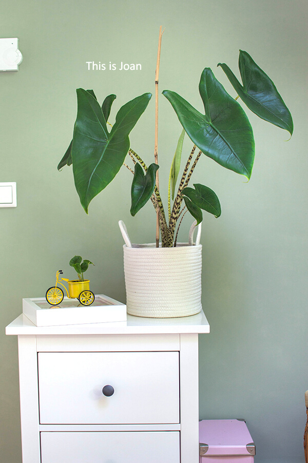 Plant Rebelz Alocasia Zebrina en Alocasia Dragon Scale