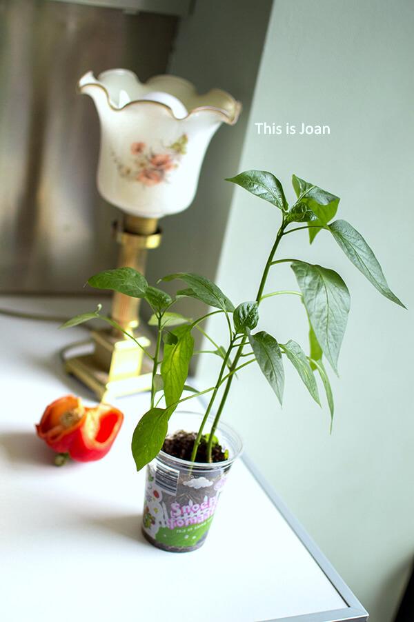 Paprika kweken in pot