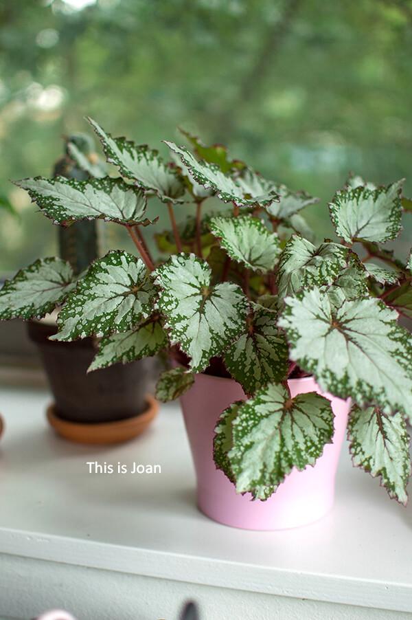 Begiona Asian in roze duurzame plantenpot binnen