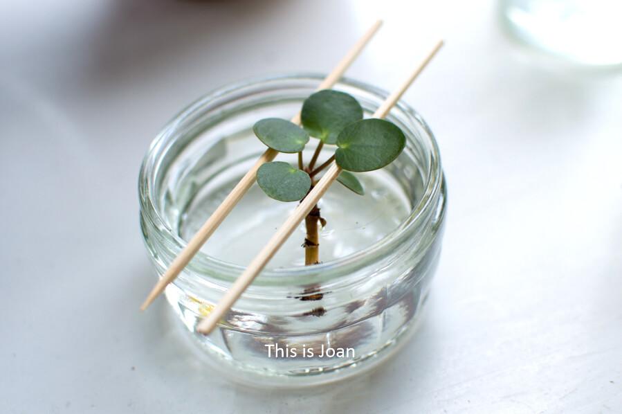Pannenkoekplant stekken op water