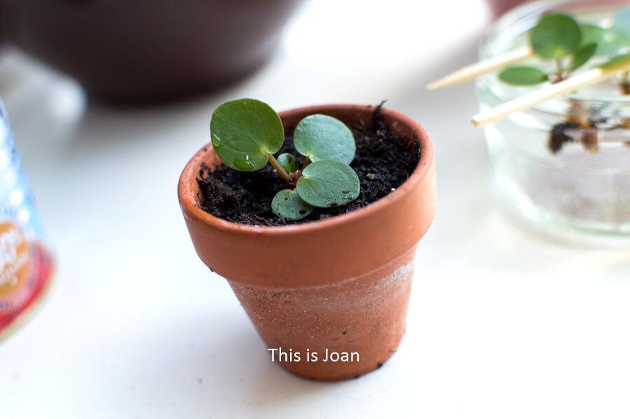 Pannenkoekplant stekken in aarde