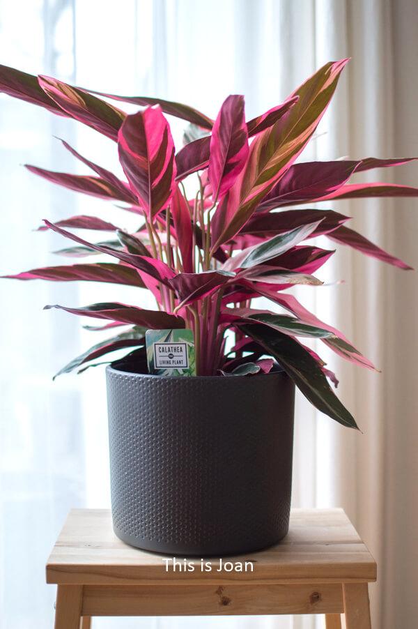 Calathea Triostar Plantsome