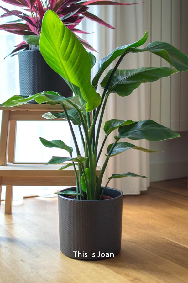 Strelitzia Paradijsvogelplant